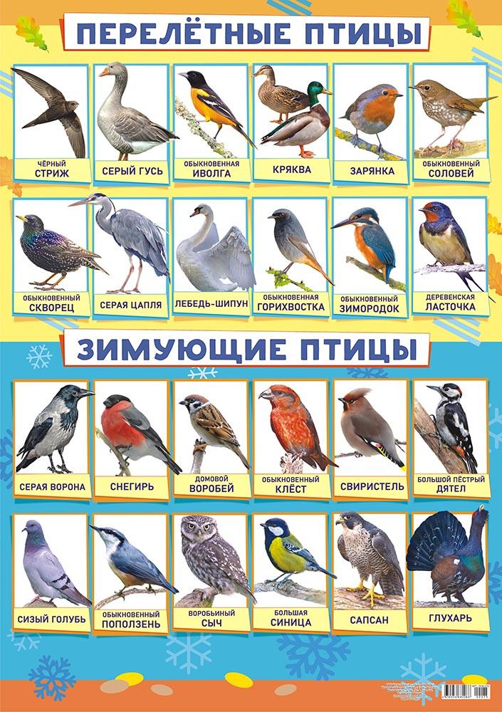 """Плакат А2 """"Зимующие и перелетные птицы"""""""